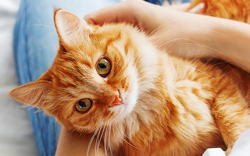 how immunity affects how your cat fights off viral diseases like FIP and FVR